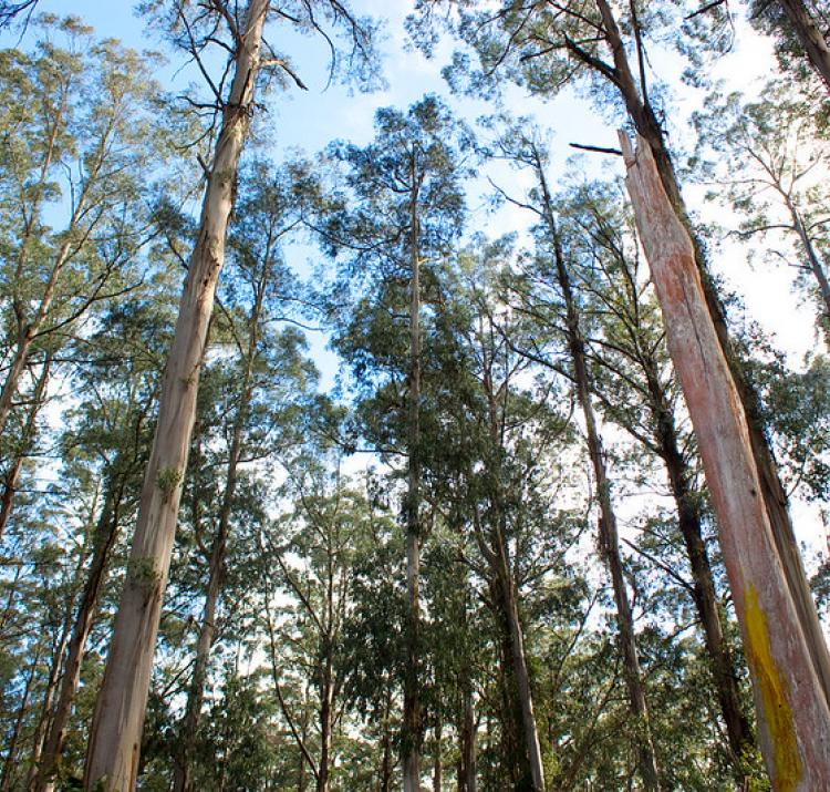 Eucalyptus regnans native to southeastern Australia. Photo: Rexness Flickr (CC BY-SA 2.0)