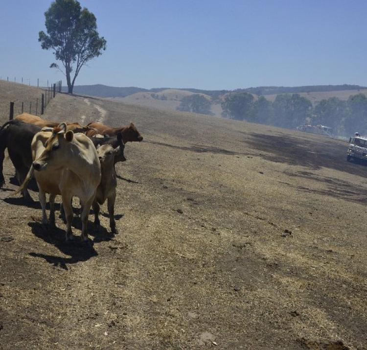 Sampson Flat fire, cows