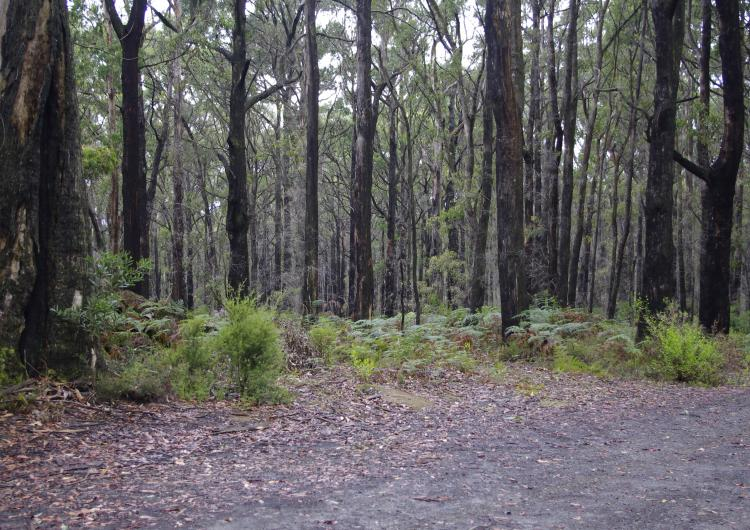 Forests in the Kinglake Ranges.