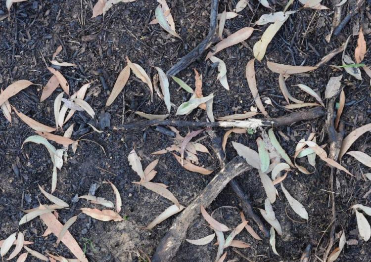 Surface fuel layer after prescribed burning. Photo: University of Sydney.