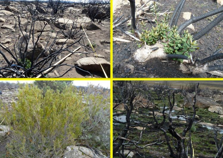 Clockwise from top left) Burnt transect with resprouting Orites revoluta; resprouting Orites revoluta; unburntOrites acicularis; burnt transect, mixed species. Photo: Judy Foulkes.