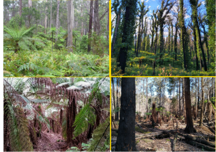 Candelo and Weld Ausplots before and after their respective fires. Source: James Furlaud