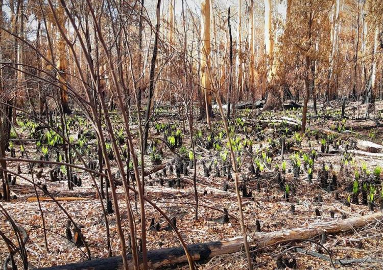 The Australian bush is already showing signs of rejuvenation. Photo: Jake Philpott, CFA