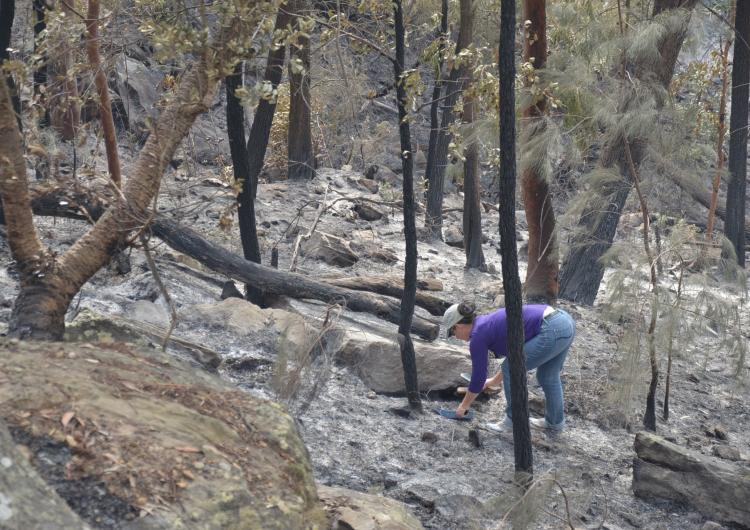 A/Prof Tina Bell collecting ash in Hornsby, NSW.