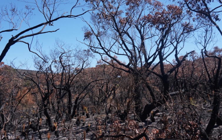 An area recently treated with prescribed burning at Moggs Creek, Surf Coast, Victoria. Photo: Tim Neale