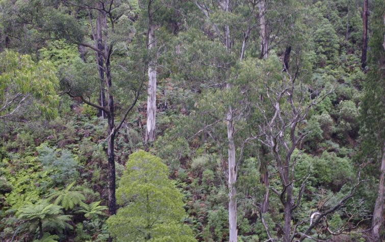 Forest in the Kinglake Ranges.
