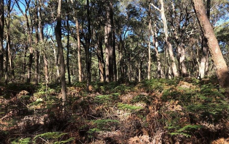 Dense understorey and thick litter layer in forested site in Wombat State Forest. Photo: Danica Parnell