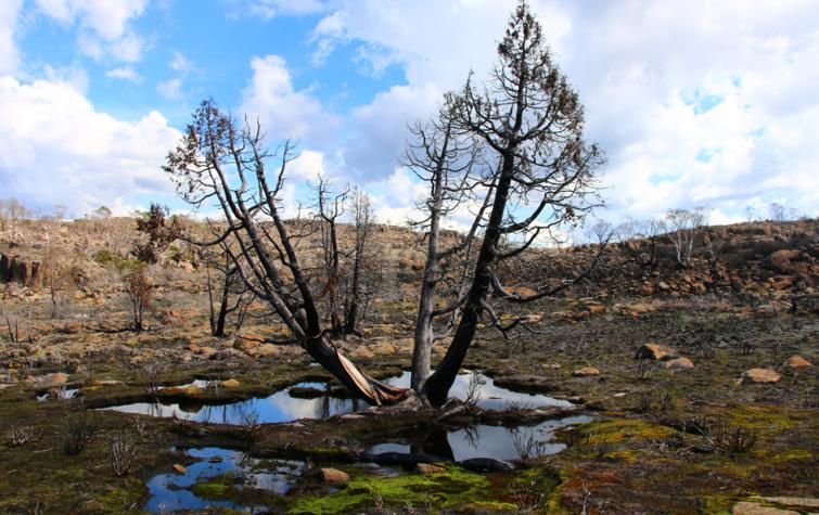 Burnt Pencil Pine near Lake Mackenzie, Tasmania. Photo: Aimee Bliss