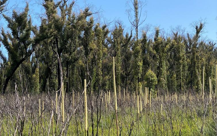 Post-fire recovery of flora and fauna in mechanical fuel reduction E. sieberi forests