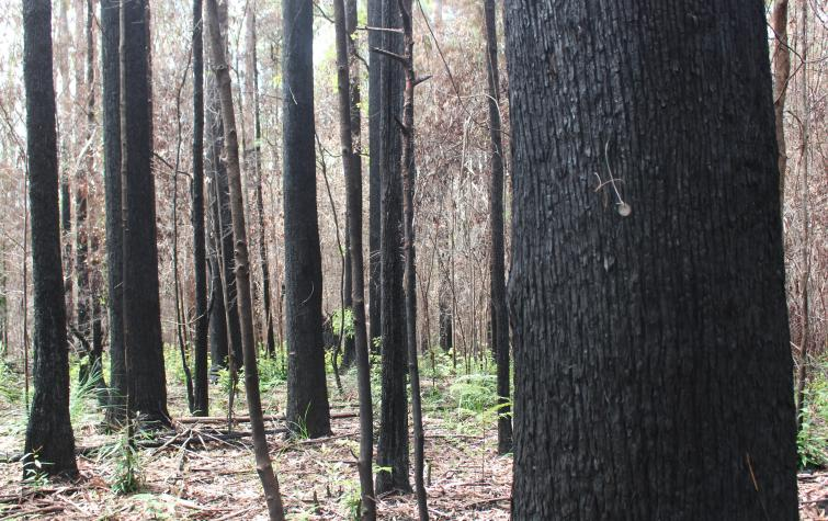 Whian Whian SCA trees. Photo: Heidi Zimmer