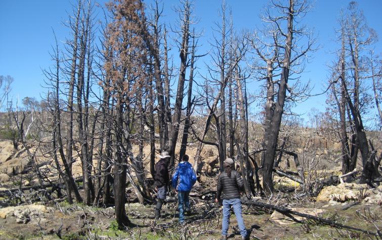 Severely burnt copse of Pencil Pine trees. Photo: Linda Prior
