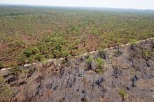 Gamba grass has become a major fire risk in the NT. Photo: T Neale.
