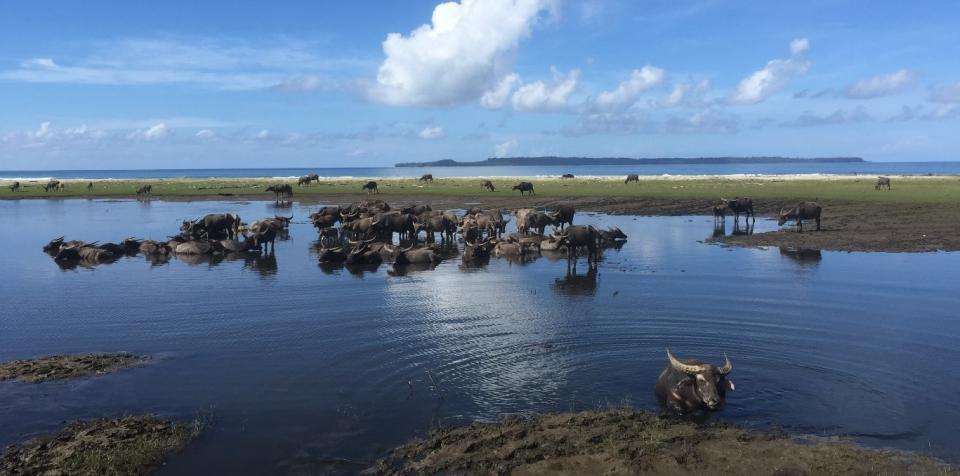 Buffalo wallow near the beach on Pulau Simeulue