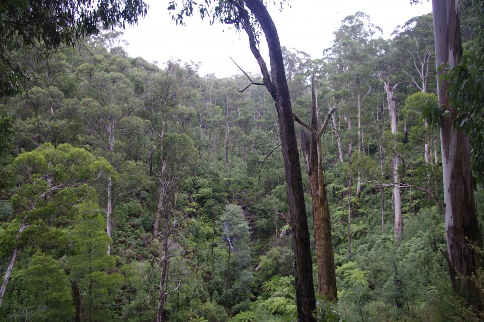 Forest canopy in the Kinglake ranges. Photo credit: BNHCRC.