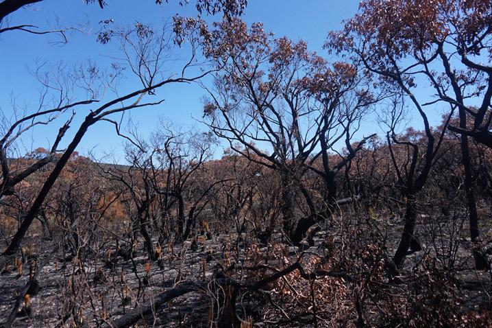 Bush at Moggs Creek in the Otways after a burn. Photo by Timothy Neale.