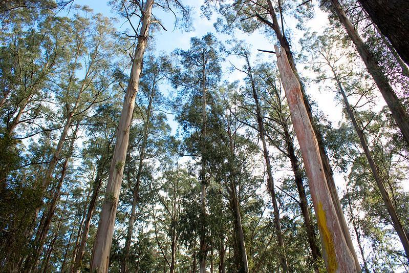 Eucalyptus regnans native to southeastern Australia. Photo: Rexness Flickr (CC BY-SA 2.0)
