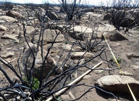 Burnt transect with resprouting Orites revoluta. Photo: Judy Foulkes