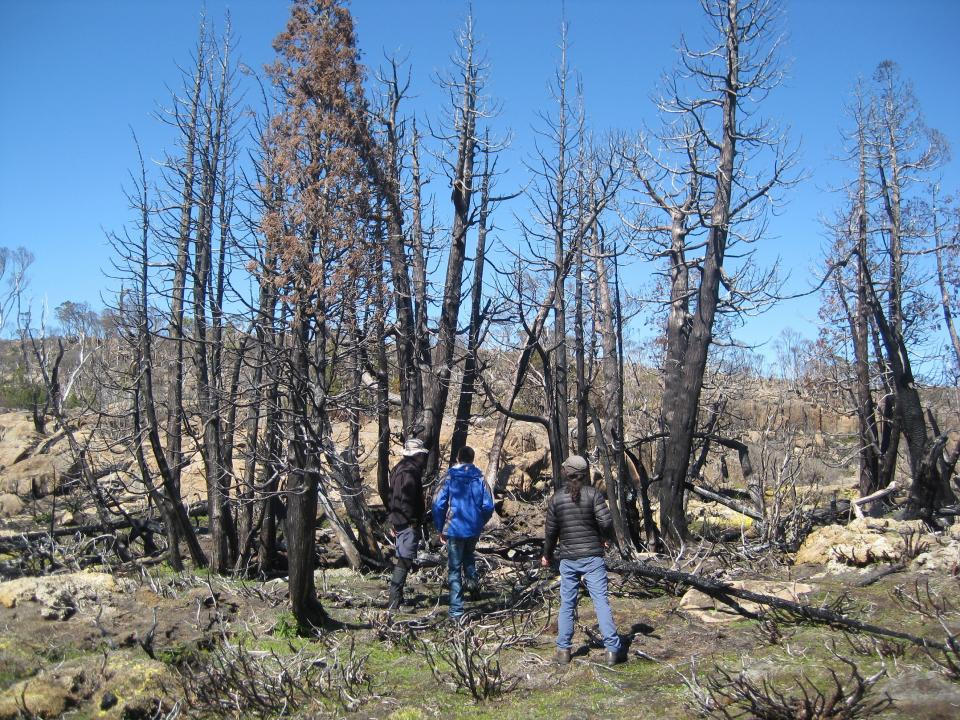 Severely burnt copse of Pencil Pine trees. Photo: Linda Prior