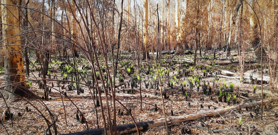 The Australian bush is already showing signs of rejuvenation. Photo: Jake Philpott, CFA